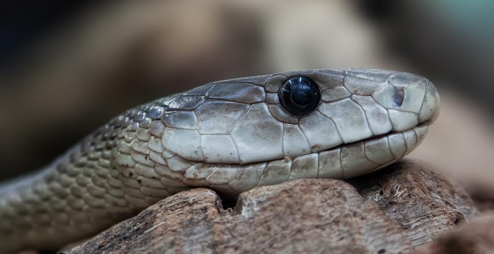 Snake, Serpent
